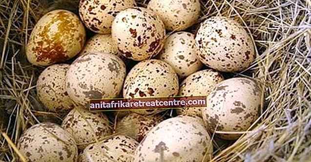 Apa manfaat telur puyuh, untuk apa? Bagaimana telur puyuh dikonsumsi, berapa kalori dan nilai gizinya?