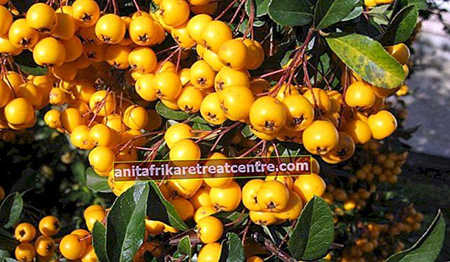 Apa itu hawthorn, apa manfaatnya? Manfaat buah dan daun hawthorn yang tidak diketahui
